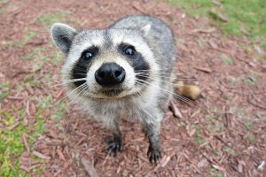 Yes, We Totally Have Raccoons in Bushwick and Here's What You Need to Know About Them